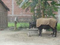 Freezing water buffalo