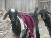 Goats in jackets